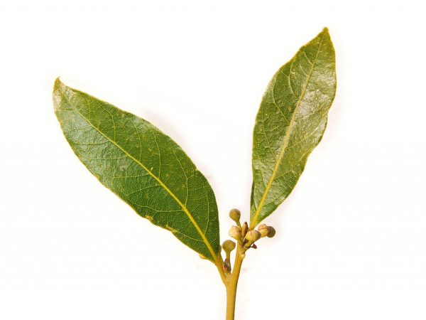 Bay Laurel Leaf - Laurus Nobilis