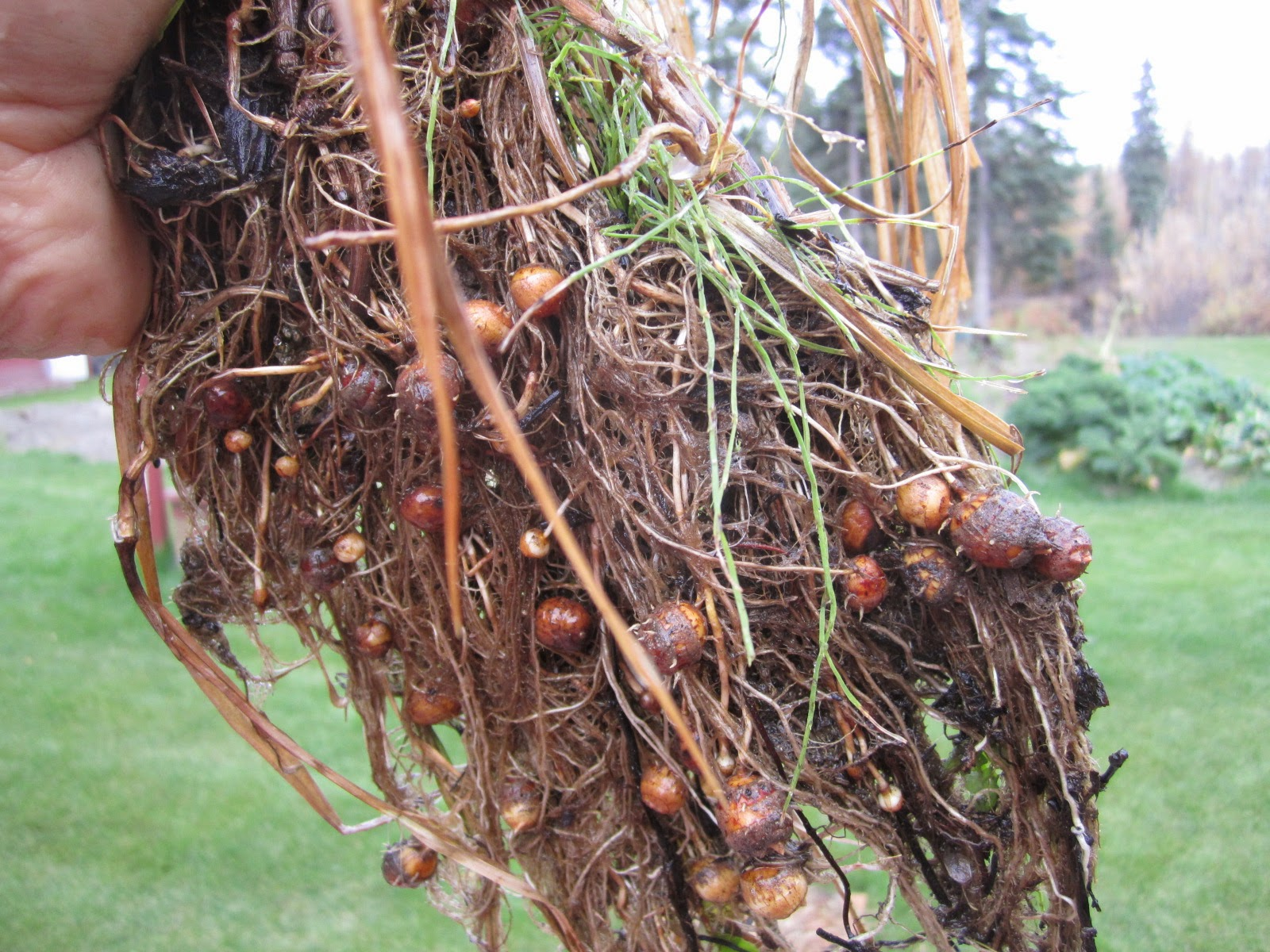 Tiger Nut (Cyperus esculentus) tubers fully grown in a vegetable garden, in Alaska, USA. Photo: Tim Steele, September 26, 2014, vegetablepharm.blogspot.com.