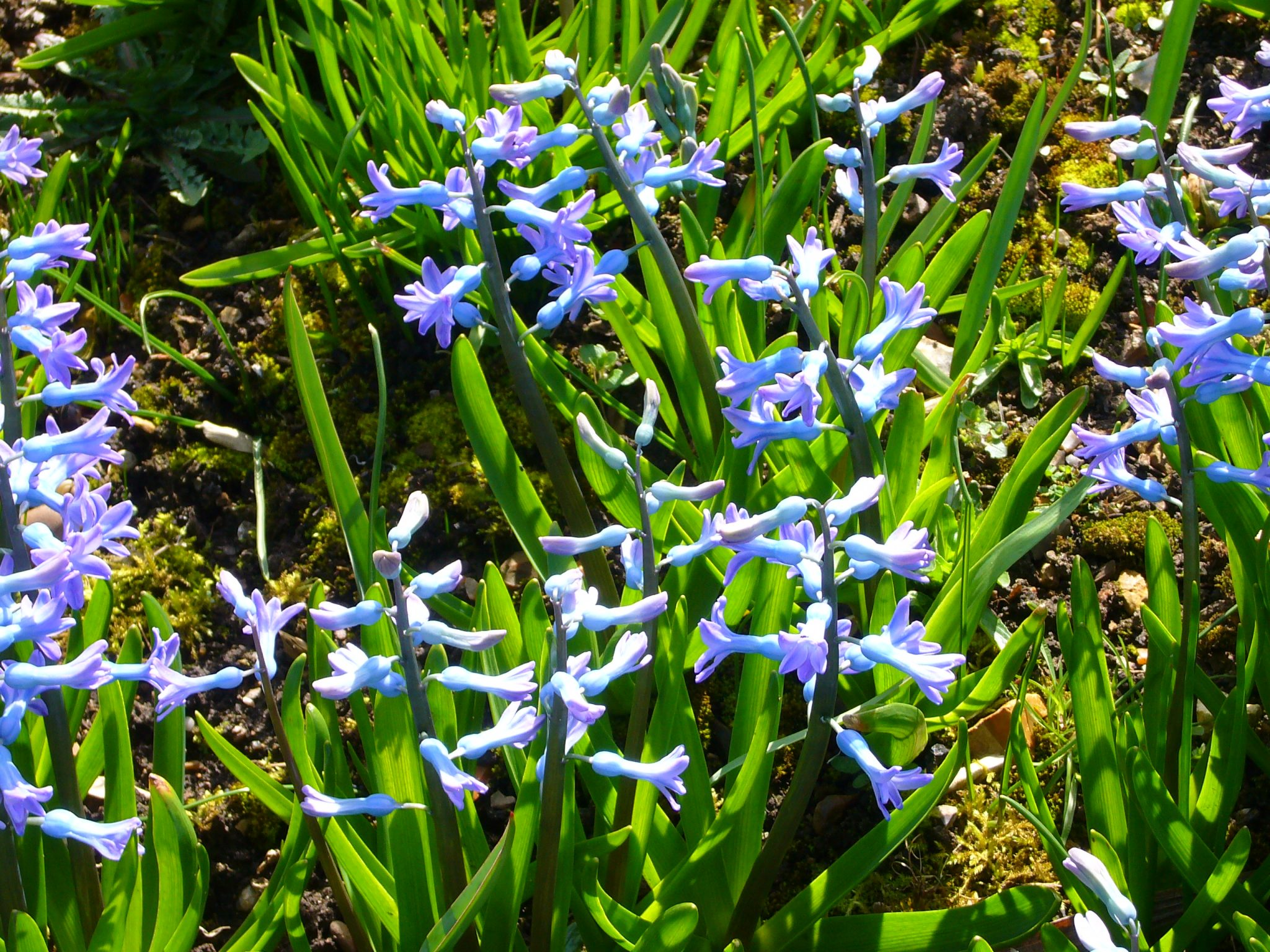 Wild Hyacinth (Hyacinthus orientalis) in Cambridge University Botanic Garden. Photo Magnus Manske, May 2, 2009. Wikimedia Commons.